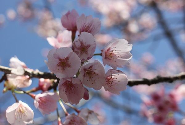 優しい感じの河津桜のアップ写真