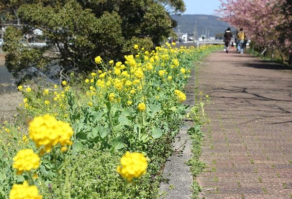 川沿いの菜の花の写真