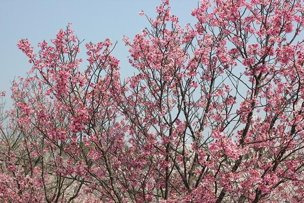 濃いピンクの桜満開の写真