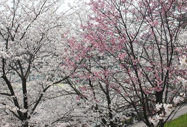 ソメイヨシノとピンクの桜の写真