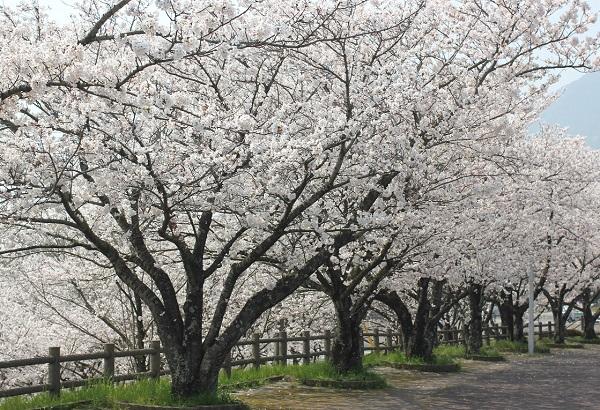 グランドの大きな桜の並木の写真