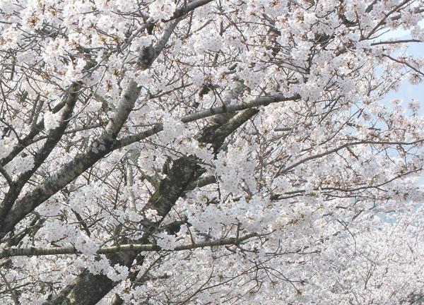 満開の桜の花のアップ写真