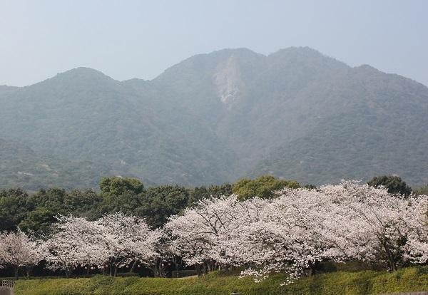 眉山と桜並木の写真