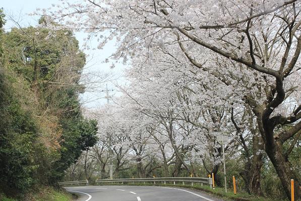 市道唐比長走線、桜並木の写真