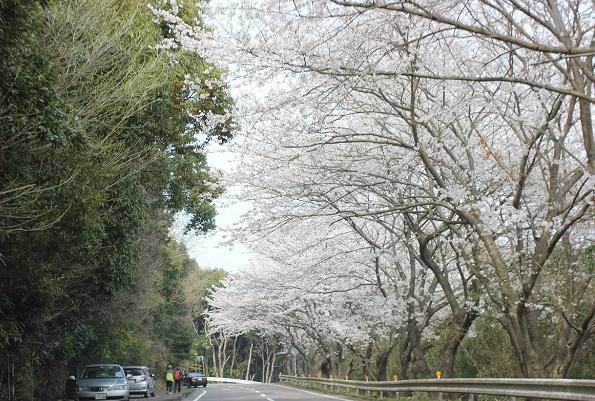 森山の桜並木と停車してる車の写真