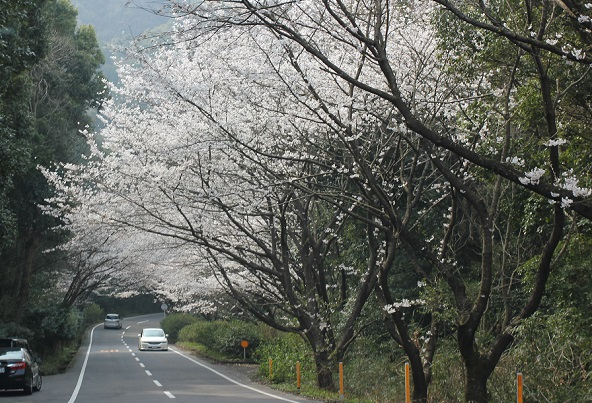 大きな桜の木、花が道を覆ってる写真