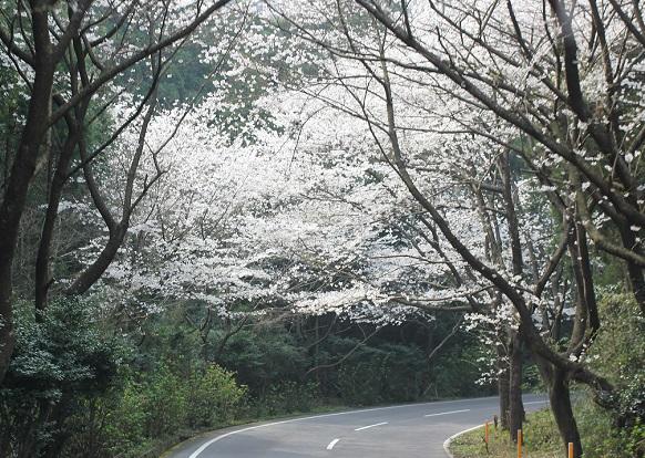 森山の桜、道路まで桜の花が覆っている写真