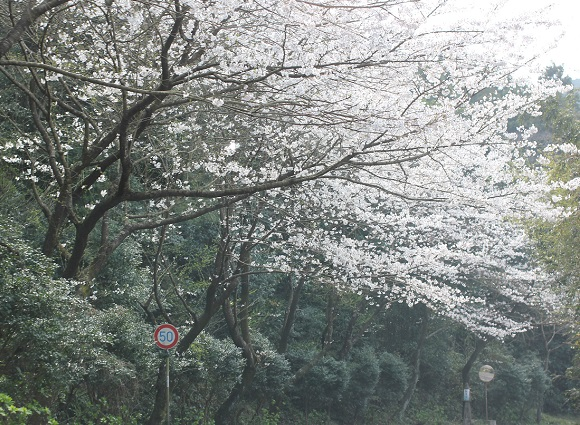 桜のトンネル、桜の写真