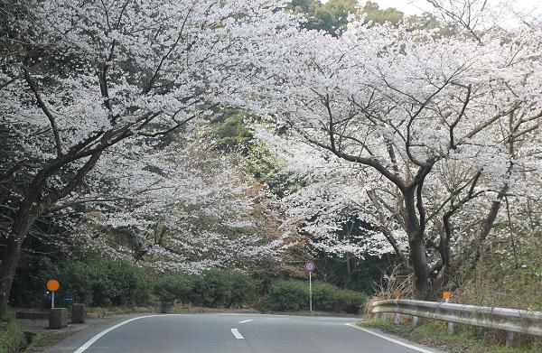 市道唐比長走線、桜のトンネルが見事な写真