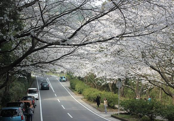 桜のトンネルと桜の写真を撮ってる人達の写真