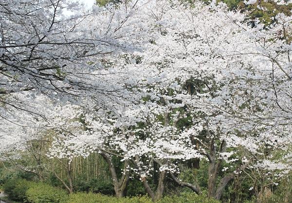 とても綺麗な桜の木、満開の様子の写真