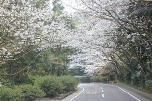 森山の桜のトンネルの写真