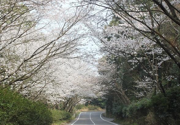 市道唐比長走線、桜のトンネルの写真