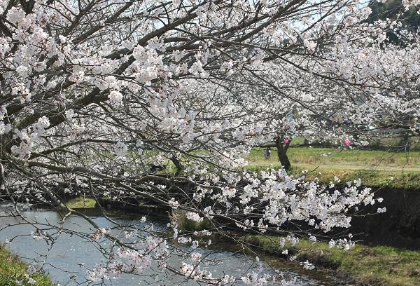 ソメイヨシノと川のアップ写真