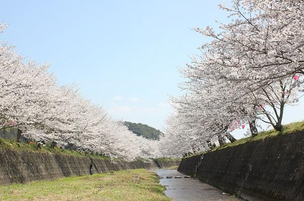 川へ降りてみた時の桜の写真