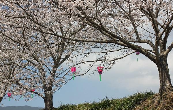 桜の木にピンクのボンボリが飾られてる様子の写真