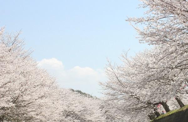 川から見た桜と空の写真