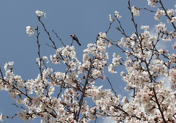 桜の枝に小鳥がとまってる写真