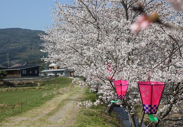 桜と小道とボンボリの写真