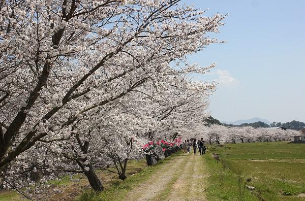桜並木と人が歩いてる写真