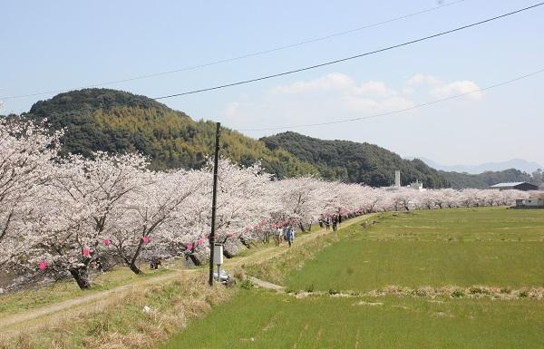 国道から見た桜並木の写真
