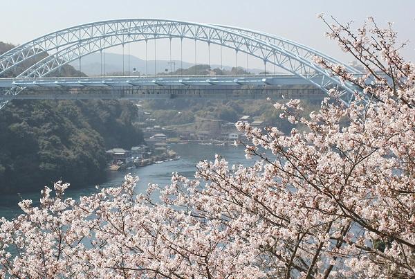 西海橋と桜の写真