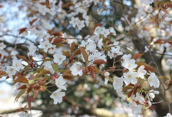 山桜のような可憐な桜の写真