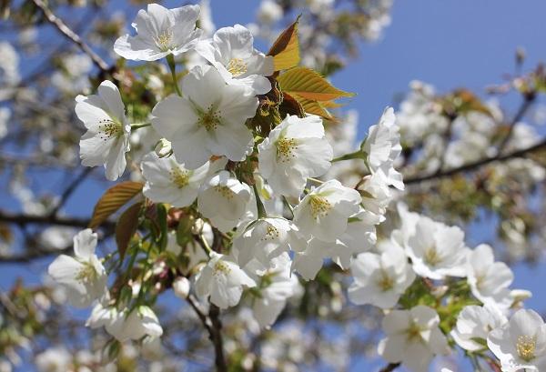 真っ白な桜の写真