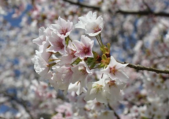 薄いピンクの桜の写真