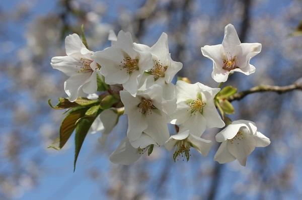 白の星型の桜の写真