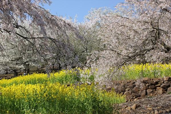 四本堂公園、しだれ桜と菜の花の写真