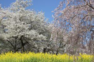 四本堂公園の桜と菜の花の写真