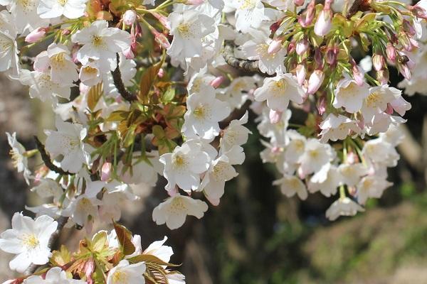 白い桜のアップの写真