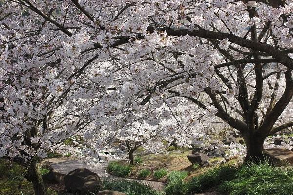 満開の桜のトンネルの写真
