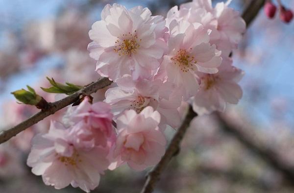 西海橋の八重桜、アップ写真