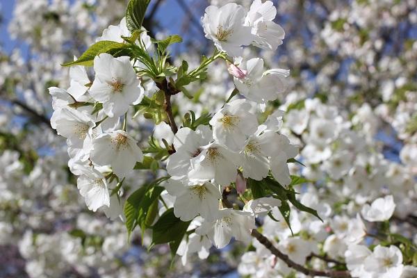 白の葉桜のアップの写真
