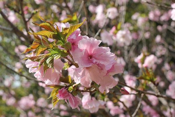 ピンクの八重桜のアップの写真