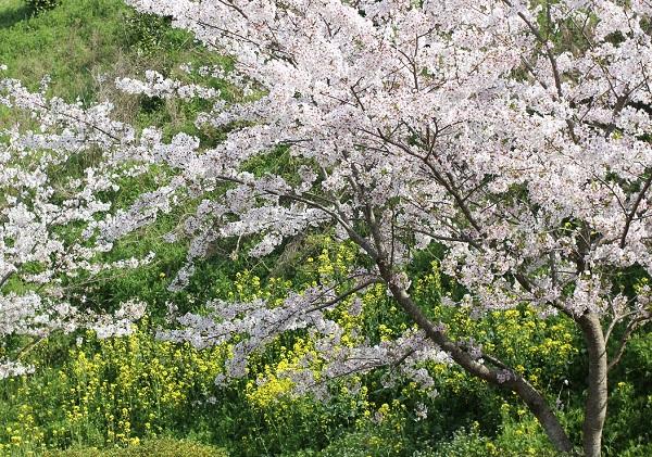 菜の花と桜の木の写真