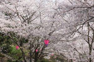 中尾城公園の桜の写真