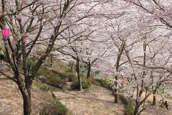 桜がいっぱいの写真
