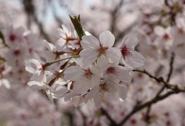 ソメイヨシノのアップの写真