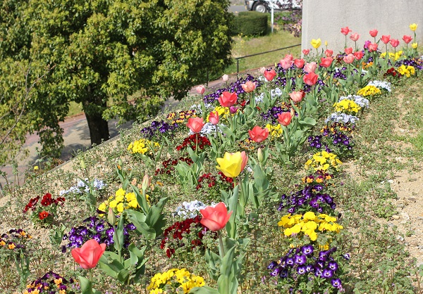 チューリップとビオラの花壇