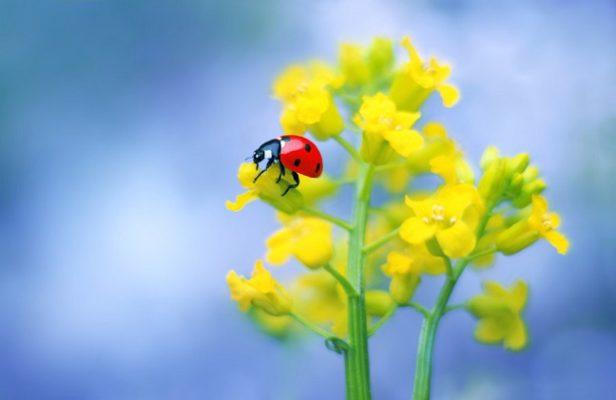菜の花とテントウムシの写真