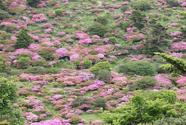 仁田峠の山肌のツツジの写真