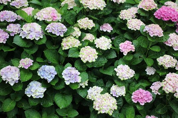 ハウステンボスの紫陽花