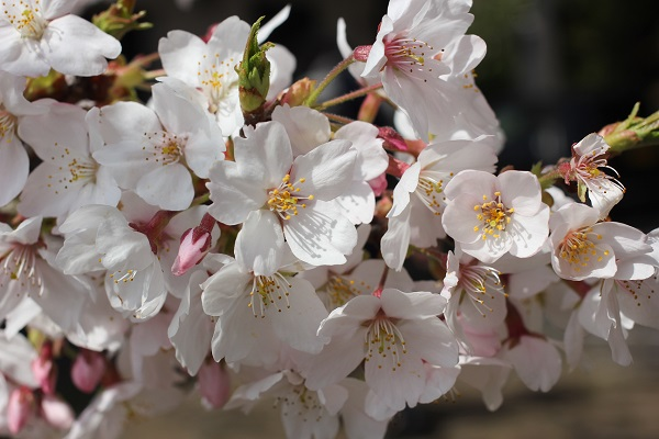 桜が満開のアップ写真