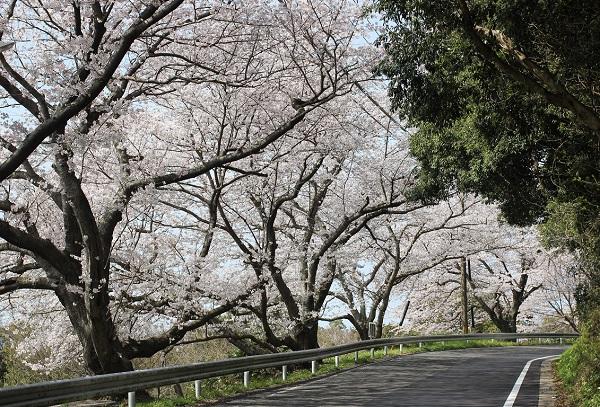 大きな桜の並木道の写真