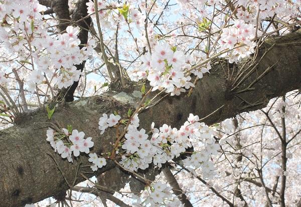枝から桜が咲いてる写真