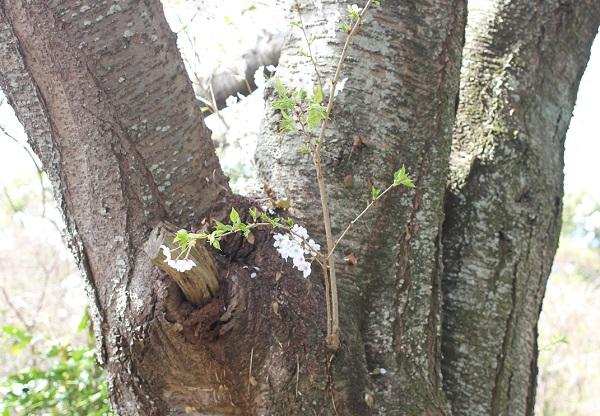 幹から桜が咲いている写真