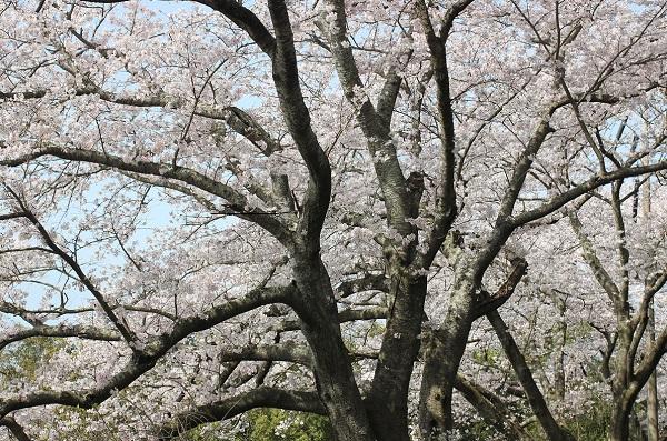 桜の大きい木の写真